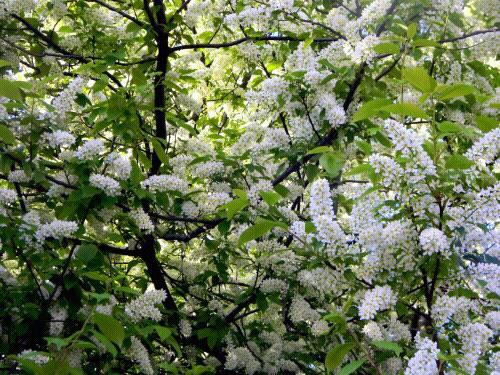 куст цветущей черемухи