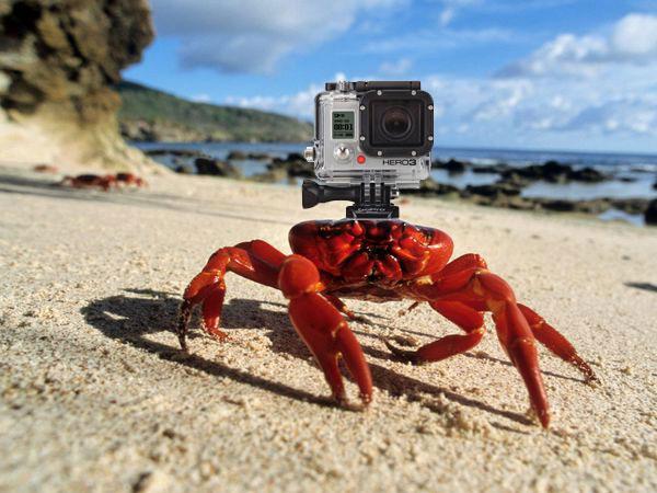 Краб с камерой GoPro на голове